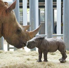 White Rhinos <3