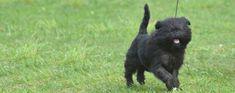 De Affenchon is een kruising tussen de Affenpinscher en de Bichon Frise. Aangezien beide honden klein van formaat zijn en weinig niveaus hebben, zal de Affenchon hetzelfde zijn. Griffon Bruxellois, Bichon Frise, Cats, Animals, Gatos, Animais, Animales, Animaux, Animal