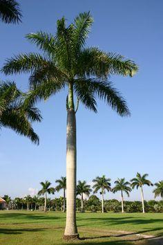 Cuban Royal Palm Tree   Justin Farms - Species