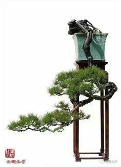 68436777556 Pine Bonsai, Indoor Bonsai Tree, Juniper Bonsai, Bonsai Plants, Bonsai Garden, Garden Trees, Conifer Trees, Deciduous Trees, Ikebana