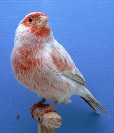 Pretty, pretty canary