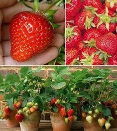 Strawberry Plants, Raised Garden Beds, Fertility, Fruit, Flowers, Gardening, Gardens, Plants, Lawn And Garden