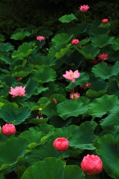 Beautiful Nature Wallpaper, Beautiful Landscapes, Beautiful Flowers, Lotus Flower Pictures, Pond Painting, Lotus Art, Aquatic Plants, Flowers Nature, Water Lilies