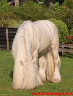#horses ITS Amadeus-- Tinker/ Gypsy Vanner stallion --- GORGEOUS!. /Absolutely beautiful EL./