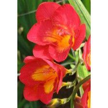 #Flower Seeds #Online India, Flower Seeds, #Buy Flower Seeds #Online, #Order flower #Seeds Online, Flower Seeds Online #Purchase India, #winter Flower #Bulbs http://kraftseeds.com/flower-bulbs/winter-flower-bulbs