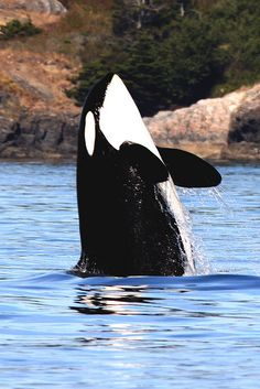 Orca Spy Hop