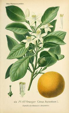 Oranger - citrus aurantium