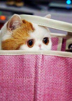 【猫】かわいい?ブサイク?中国生まれのエキゾチックショートヘアの猫 | ぴくとぴっく