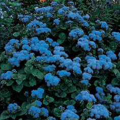 Ageratum 'Blue Mink' - Annual perfect for wildflower gardens. Light: Full Sun - Morning sun in extreme heat climates Water: Moist Bloom Time: Spring Summer Fall Flower Color: Multicolor Average Size: H x W Spacing: Cold Hardiness: Non-hardy below Flowers For Butterflies, Fall Flowers, Colorful Flowers, Blue Flowers, Fresh Flowers, Wedding Flowers, Delphinium Plant, Blue Delphinium, Plant Aesthetic