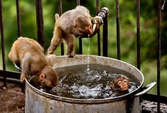 A couple of monkeys quench their thirst as another takes a dip on a hot summer afternoon on the outskirts of Jammu, India