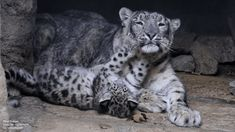 10 Gifs That Prove Big Cats Are Just As Adorable As Little Cats - baby snow leopard and patient mama Animals And Pets, Baby Animals, Cute Animals, Animal Babies, Baby Snow Leopard, Most Beautiful Animals, Here Kitty Kitty, Leopards, Cat Gif