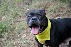 GONE 10/17/14. Staten Island Center  My name is MOMMA. My Animal ID # is A1016604. I am a female black and white am pit bull ter mix. The shelter thinks I am about 7 YEARS old.  For more information on adopting from the NYC AC&C, or to  find a rescue to assist, please read the following: http://urgentpetsondeathrow.org/must-read/