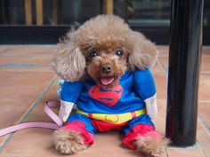 #Superman#cute#toypoodle#happy