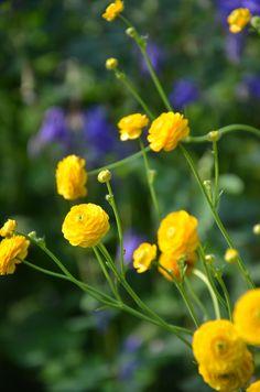 Nordic sublime - Ranunculus acris 'Flore Pleno' - My garden