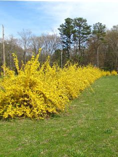 Blooming forsythia shrubs as hedge