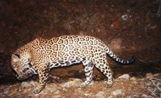 One of the only wild jaguars known to roam in the deserts of the southwest United States is believed to have been killed by hunters for his spotted pelt. This wasteful slaughter is a tragic loss for biodiversity in this sensitive ecoregion. Sign this petition to demand that officials do more to prevent hunters from killing these rare big cats.