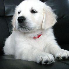 White British English Cream Creme Goldens Golden Retriever Puppy.