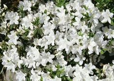 Azalea in bloom with white flowers.