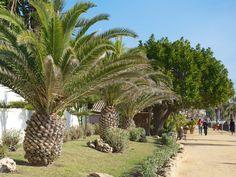 """Pineapple"" palm trees"