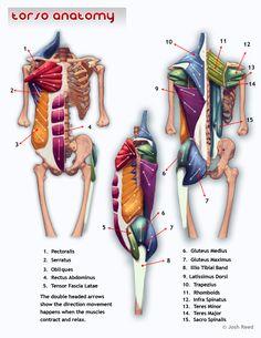 Drawsh torso anatomy.