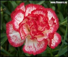 free white light red carnation flower pictures