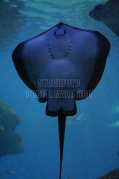 grinsender Rochen Palma Aquarium (Stockfoto MALLORCA) http://stockfoto.portalmallorca.de/downloads/grinsender-rochen-palma-aquarium/