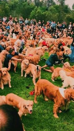 """Figure out more information on """"golden retriever puppies"""". Browse through our web site. Cute Baby Animals, Animals And Pets, Funny Animals, Cute Dogs And Puppies, I Love Dogs, Doggies, Puppy Care, Cute Creatures, Mans Best Friend"""