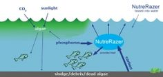NutrErazer and its packing are safe and nontoxic to humans and animals (including fish and other aquatic species)  All Purpose Pond Algae Control Treatment NutrErazer's... control algae naturally by reducing the level of unwanted nutrients and muck and increasing the health of our pond This is a non-chemical approach which basically involves living organisms (microbes) feeding off of the excess nutrients that would otherwise be available for plant growth.