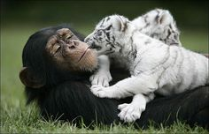 THIS cute chimp isn't just a primate - she is this baby tiger's BEST mate. Loving Anjana cradles the white tiger cub after acting as surrogate mother to. White Tiger Cubs, White Tigers, White Lions, Tiger Tiger, Bengal Tiger, Baby Tigers, Mundo Animal, Animals Of The World, Orangutan