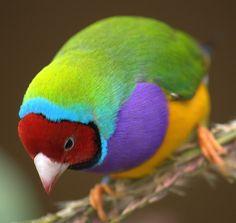 Lady Gouldian Finch Mutations | Back & Head Color Genetics