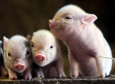 Maybe one day I'll get the pet pig I've always wanted. How could you not love these little guys?