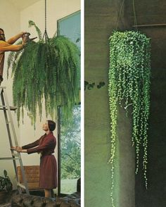 Hanging Gardens :fern and string of pearls
