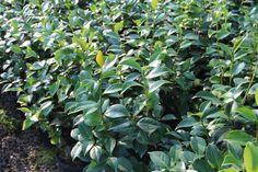 Camellia Japonica by Piante Frosini