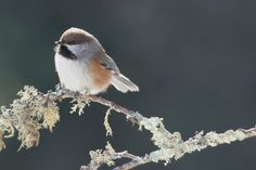 Boreal Chickadee - a brown-capped chickadee of the northern boreal forest, the Boreal Chickadee is one of the few birds living completely within that biome in Canada and bits of the United States.