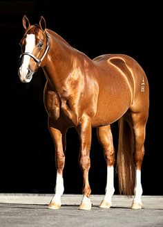 AQHA stallion, Halreycious. photo: Cam Essick.