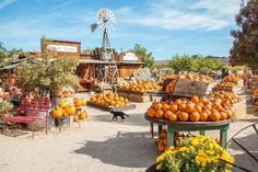 The Best Pumpkin Patch to Visit in Your State - - Start planning your trip now. Pumpkin Patch Farm, Pumpkin Patch Birthday, Best Pumpkin Patches, Pumpkin Patch Outfit, Black Pumpkin, Diy Pumpkin, Cute Pumpkin, Large Pumpkin, Party Animals