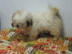Mopsy is an adoptable Lhasa Apso Dog in Black River Falls, WI. Scared and running as a dog at large for over 2 weeks, finally caught in afenced in back yard is how this little mpo came to us. He has a...