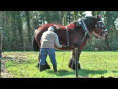 Strong and Well Trained Belgian Draft Horse at work - YouTube