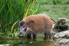 Reptiles, Mammals, Red River Hog, Animals Beautiful, Beautiful People, Paint Stripes, Pigs, Scary, Wildlife