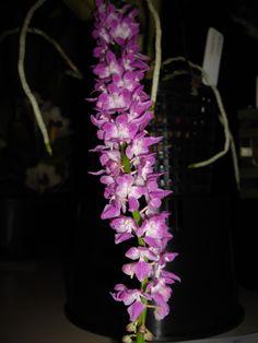 Aerides rosea [Synonym: Aerides fieldingii] - Flickr - Photo Sharing!
