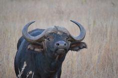 Zuid-Afrika - Buffel