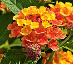 "Lantana camara ""Landmark Citrus"" :  one of my favorites, love the smell too."