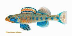 Descubren nuevas especies de peces: Roosevelt, Carter, Clinton, Gore y Obama - New Fish Species Discovered: Roosevelt, Carter, Clinton, Gore and Obama