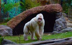 """"""" Floquet de Neu """" means  LITTLE SNOWFLAKE in Catalan.  That was the nickname of the Albino Gorilla who was born in Equatorial Guinea in 1964. His original name was  """" Nfumu Ngui """" in Fang Language, that means White Gorilla. He lived in Barcelona Zoo until November 24th, 2003, when he died. He is the only known white gorilla so far, and he was the most popular resident of the Barcelona Zoo in Catalonia."""