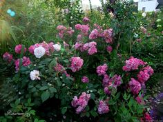 'Robin Hood ' Rose Photo