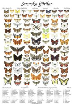 Photos of Various Swedish Moths Learn Swedish, Garden Animals, Bugs, Animal Posters, Land Art, Science And Nature, Beautiful Creatures, Vintage Posters, Moth