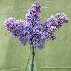 Lilacs, lilacs, lilacs.... My favorite!