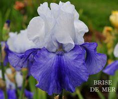 TB Iris germanica 'Brise De Mer' (Cayeux, 1984)