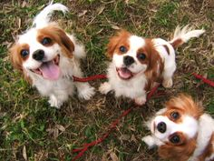 all the king charles cavaliers in the yard...