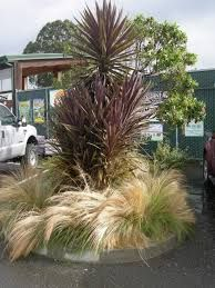 Image result for cordyline red star